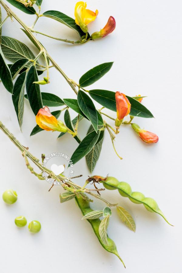 rama de guandules con flores y vainas