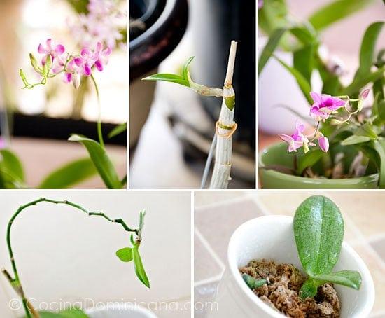 Cuidando las Orquídeas: Aquí te doy algunas ideas de como cuidar tus bellas orquídeas para que duren más.